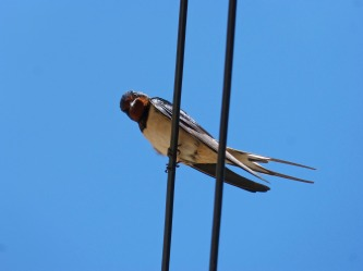 swallow-1378225_1920